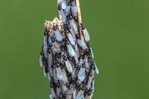 Cluster Flies with Pearl Wings