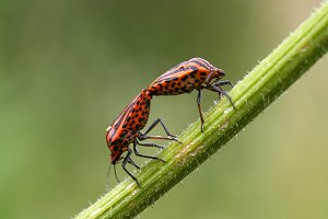 Two Red&Black Bugs on a Blade