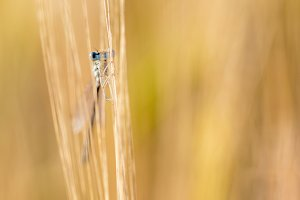 Blue Damselfly hiding in Barley