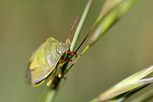 Green Bug on Blade in the Grass