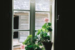 Geranium, potted flower, vintage