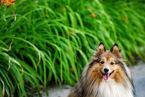 Sheltie dog for a walk in the park