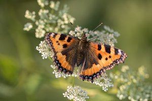 Red Small Tortoiseshell Butterfly
