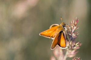 Orange Butterfly on a Blade
