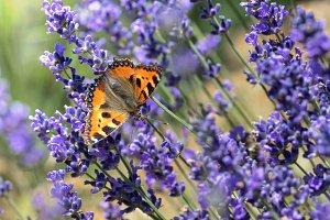 Butterfly on violet Lavender