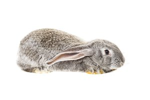 Cute grey rabbit
