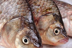 Fresh  crucian carp