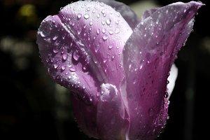 spring rain and tulip