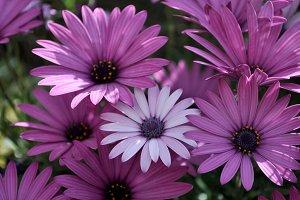 anomalous purple daisy