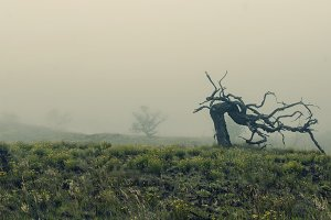 Gnarled Tree on Foggy Hillside