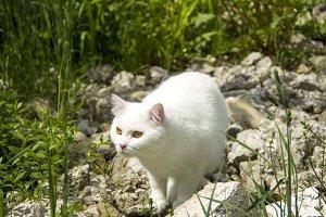White cat hunting