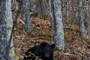 Black bear wandering through forest