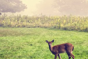 Deer looking through fog