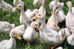 Young geese on the walk