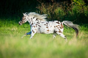 Appaloosa pony running in field