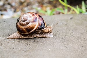Big snail crawling