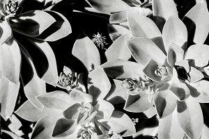 Black and White Succulents