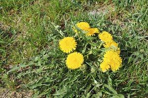 Yellow Common Dandelion flower