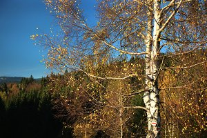 Birch with tourist signs