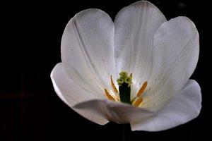 white tulip calyx