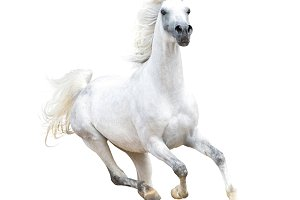 Arabian stallion on white