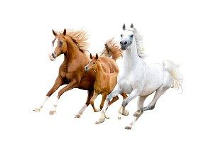 Arabian horses on white