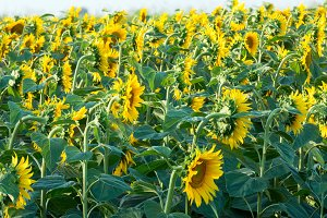 Summer Sunflowers field
