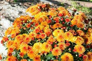 Orange autumn chrysanthemums bush