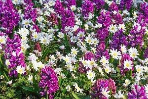 Spring purple hyacinths