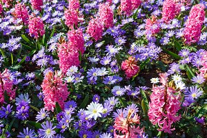 Spring pink hyacinths