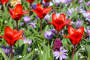 red tulips and purple crocuses