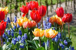 tulips on spring flowerbed.