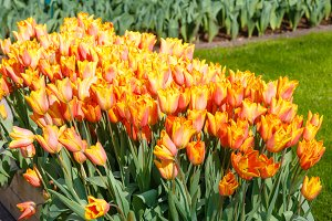 red-yellow tulips close-up