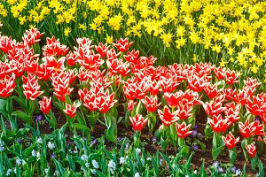 red-white tulips and narcissus