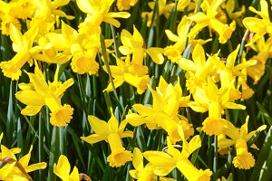 Yellow narcissus (spring background)