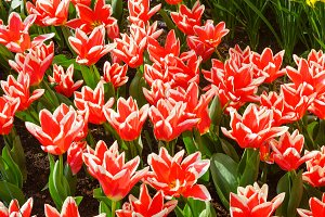 Beautiful red-white tulips (closeup)