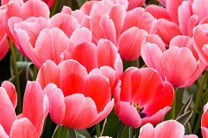 Beautiful pink tulips closeup.
