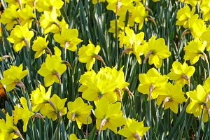 Yellow narcissus (close-up)