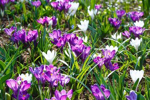 purple and white crocuses (macro)
