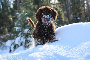 Labradoodle puppy in the snow
