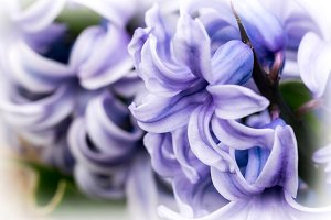 Floral background (hyacinths)