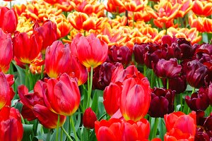 Colorful tulips in spring park.