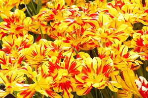 yellow-red tulips close-up