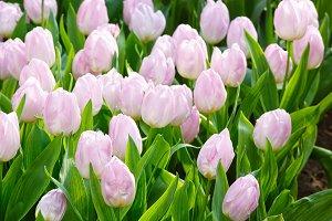 white tulips closeup