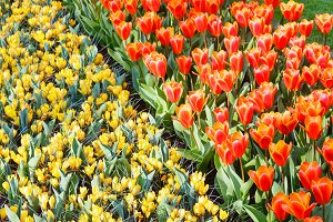red tulips and yellow crocuses