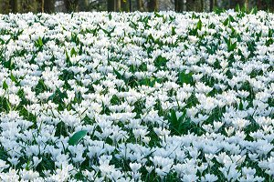 Spring white crocuses