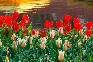 Red and white tulips near pond