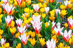 yellow crocuses and white-red tulips
