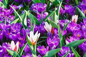 purple crocuses and white tulips