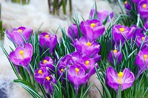 Spring purple crocuses (macro)